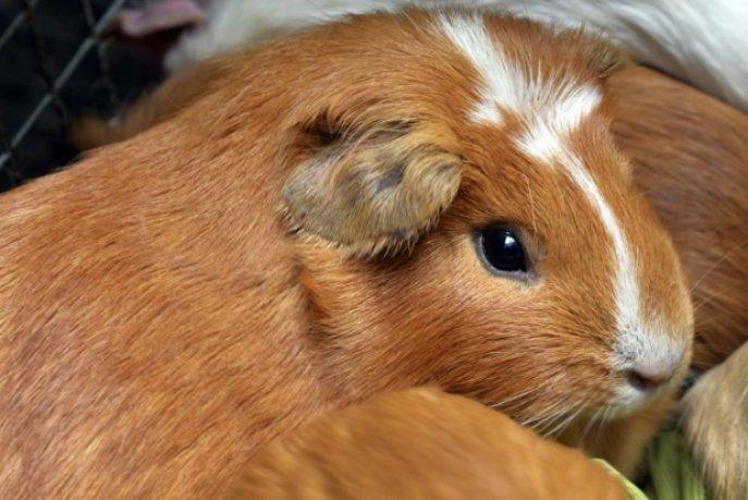 Des tests sur des hamsters prouvent l'efficacité des masques — Coronavirus